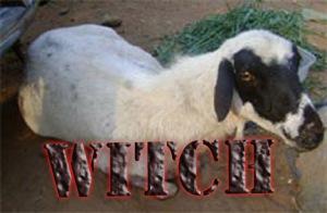 witch-goat-of-nigeria